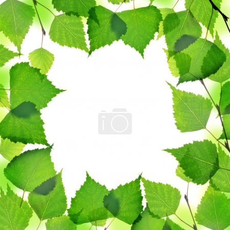 Frame from spring birch branch with green leaves isolated on a white background.