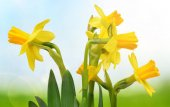 Yellow Narcissus flowers on blurred nature background. Spring season.