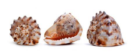Photo for Tropical conch shells isolated on white background. Sea life. - Royalty Free Image