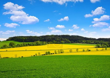 Rapeseed and green wheat field in sunny day. Spring rural landscape in Czech Republic.