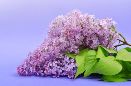 Blooming lilac flowers with green leaves on purple background.