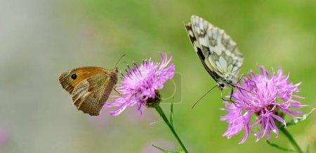 Photo pour Petite bruyère (Coenonympha pamphilus) et papillon blanc marbré (Melanargia galathea) assis sur une potamot à fleurs violettes . - image libre de droit