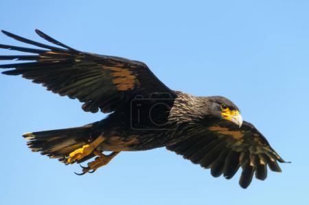 Photo pour Un oiseau exceptionnellement rare qui seulement se reproduit sur les îles éloignées de la guerre des Malouines, le Caracara strié est également localement connu comme la tour de Johny. Westpoint îles, îles Falkland - image libre de droit