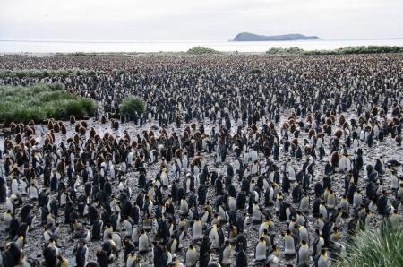 King Penguins en las llanuras de Salisbury