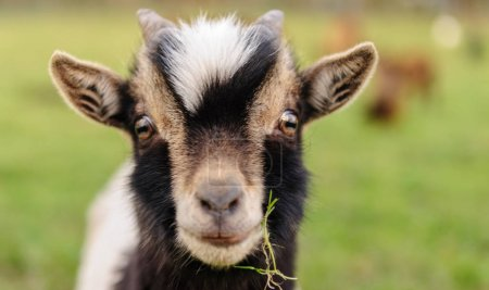 Close-up of a Goat carrying a leaf of grass