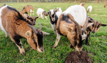 eine Gruppe Ziegen weidet auf einem Feld