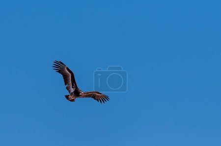 A White-headed vulture -Trigonoceps occipitalis- c...