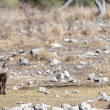A Common Warthogs - Phacochoerus africanus- in the...