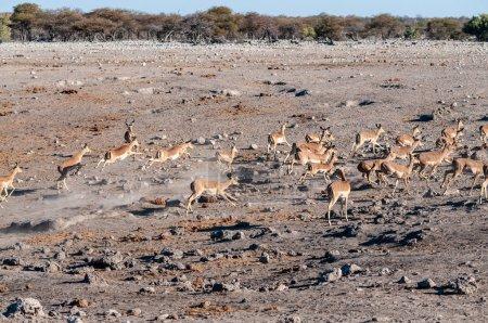 Photo pour Un groupe d'Impalas -Aepyceros melampus- courant nerveusement autour d'un point d'eau dans le parc national d'Etosha, Namibie. - image libre de droit