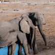 Two male African Elephants -Loxodonta Africana- ch...
