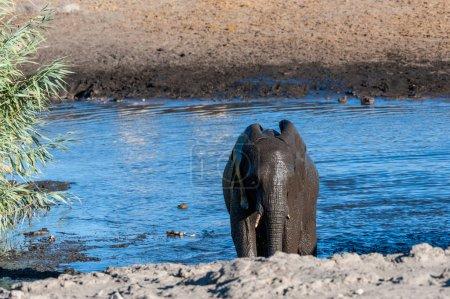 An African Elephant -Loxodonta Africana- emerging ...