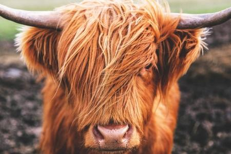 Photo for Classic Highland cow in Scotland - Royalty Free Image