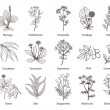 Medicinal herbs and plants doodle vector collectio...