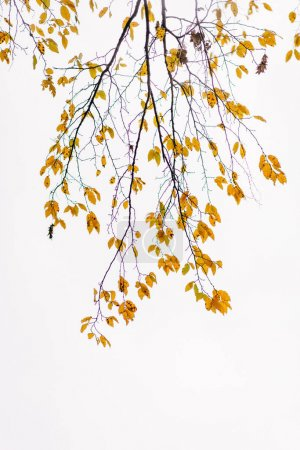 Tree branches with yellow leaves on grey sky background