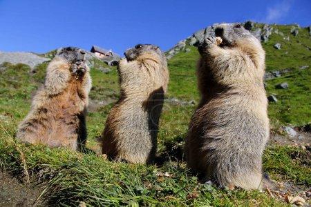 drei stehende Murmeltiere in den Bergen fressen mit ihren Pfoten