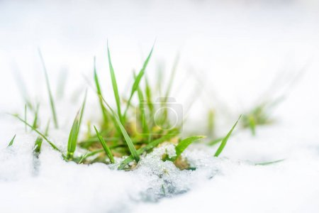 Close-up of green grass sprout through snow cover. Beginning of spring. End of Winter. Nature awakening concept