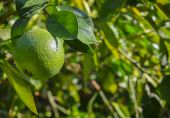 Navel orange about to ripen on the tree in Arizona