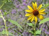 The desert flower, sweet coneflower rudbeckia triloba