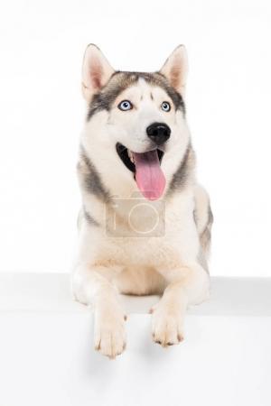 funny siberian husky dog, isolated on white