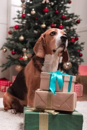 Photo pour Chien Beagle avec pile de cadeaux de Noël - image libre de droit