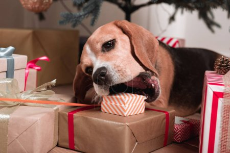 Dog trying to eat christmas gifts
