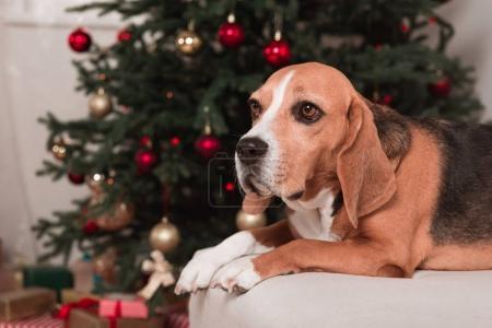 Photo pour Chien beagle belle sur le canapé en face de l'arbre de Noël - image libre de droit