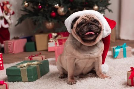 Photo pour Carlin en bonnet de noel avec les cadeaux de Noël assis sur le tapis - image libre de droit