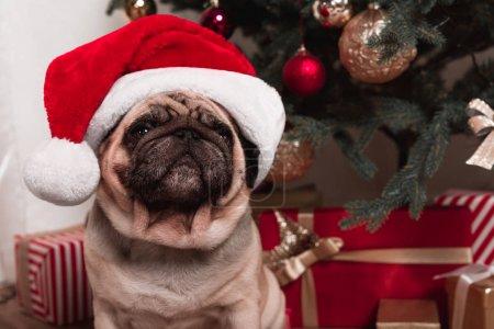 Photo pour Cute pug en bonnet, assis sous l'arbre de Noël avec des cadeaux - image libre de droit