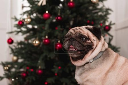 cute pug with christmas tree