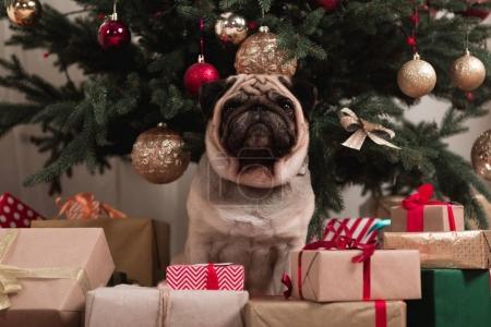 Photo pour Carlin assis sous l'arbre de Noël avec des piles de cadeaux - image libre de droit