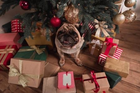 Photo pour Vue d'angle élevé de Carlin assis sous l'arbre de Noël avec des cadeaux - image libre de droit