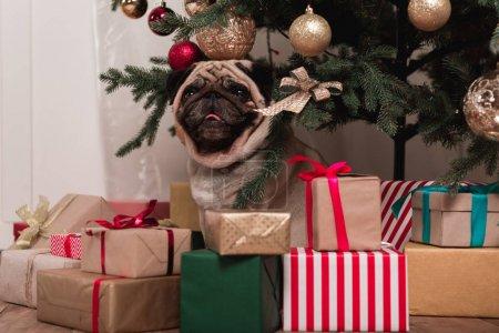 Photo pour Carlin assis sous l'arbre de Noël avec des cadeaux - image libre de droit