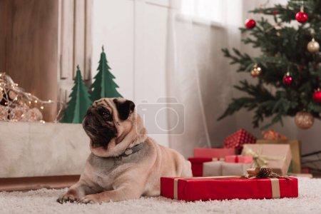 Photo pour Beau petit pug avec le cadeau de Noël en salle décorée - image libre de droit