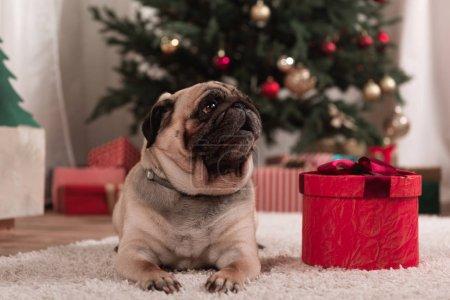 Photo pour Petit pug avec le cadeau de Noël en salle décorée - image libre de droit