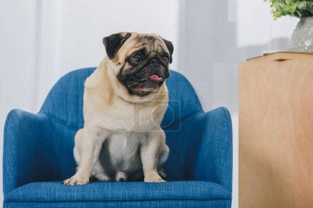 Small pug dog sitting on chair