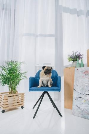 Funny pug dog sitting on chair in modern room
