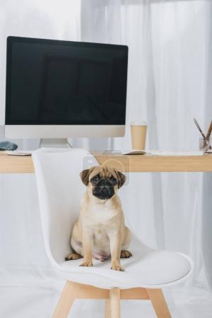 Foto de Perro pug gracioso sentado en silla por mesa de trabajo con la computadora - Imagen libre de derechos