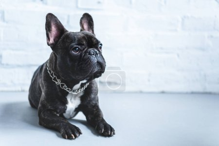 Photo for Cute Frenchie dog lying on floor and looking up - Royalty Free Image