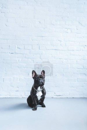 Black Frenchie dog sitting on the floor by white wall