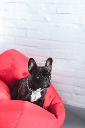 Funny Frenchie dog sitting on red bean bag