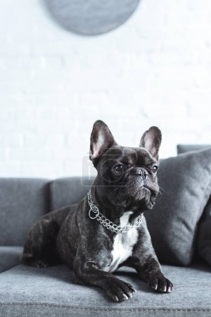 Close-up view of cute french bulldog lying on grey sofa