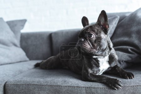 Funny Frenchie dog lying on grey sofa