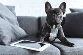 Black Frenchie sitting on sofa by tablet