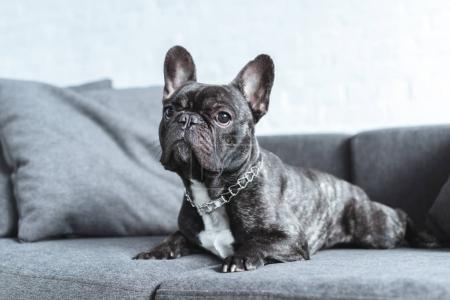Cute french bulldog lying on grey sofa
