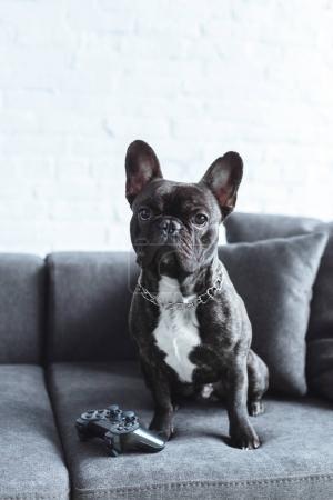 Black Frenchie sitting on sofa by joystick