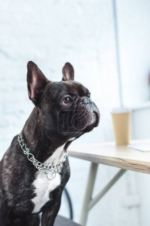 Black Frenchie sitting on chair by table