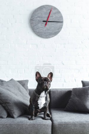 Cute french bulldog sitting on sofa in cozy room