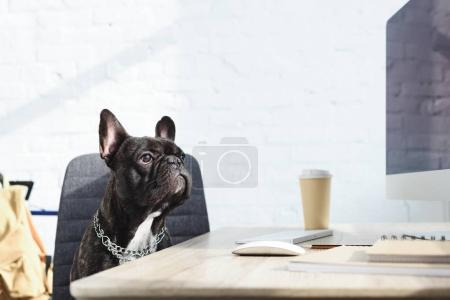 Black Frenchie sitting on chair by computer on table