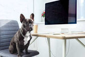 Cute french bulldog sitting on chair by computer on table