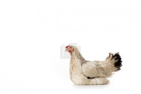 full length view of beautiful white hen lying isolated on white
